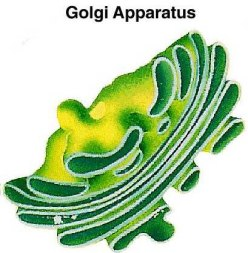 golgi apparatus in plants
